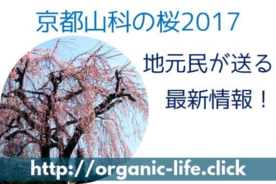2017京都山科の桜トップ