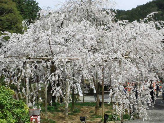 京都山科の毘沙門堂の桜2016