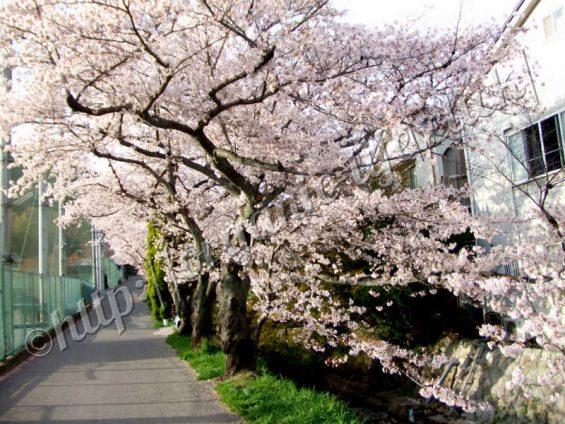 京都山科の桜の洛東高校横2012