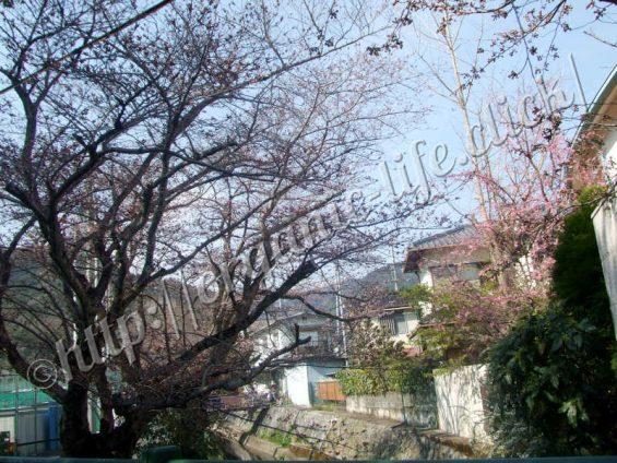 2017年京都山科の洛東高校前の桜