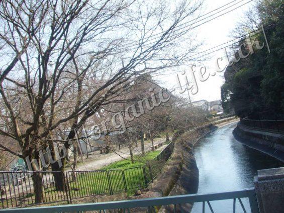 2017年京都山科の疎水沿い桜